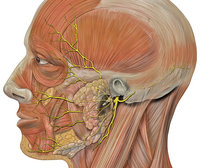 By Patrick J. Lynch and C. Carl Jaffe, MD. Reprinted by permission http://en.wikipedia.org/wiki/Image:Head_facial_nerve_branches.jpg.