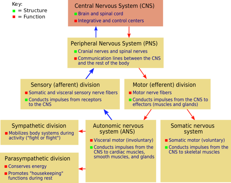 File:Skaggs Nervous system NSdiagram.png